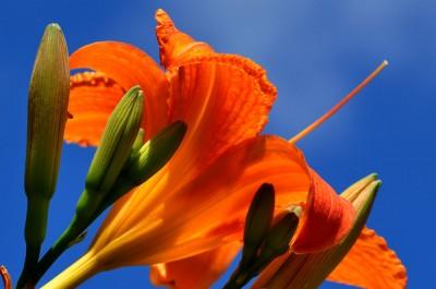Lilja sätter färg...