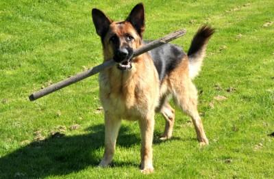 Bagheera - hunden som vägrade bli vuxen...