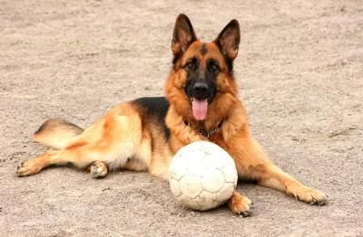 Ett annat ord för sällskapshund: schäfer