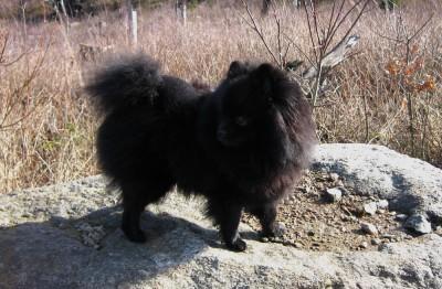 Yatzy - The Pomeranian